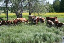 Развитие животноводства в Чеченской Республике
