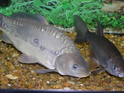 Куплю живую рыбу: форель, карп, осетр (опт).  Покупаю по высоким ценам.